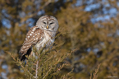 Barred Owl (aj4095) Tags: barred owl nature wildlife outdoor bird nikon tree