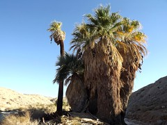 Indian Palms Oasis (h willome) Tags: 2018 desert coachellavalleypreserve