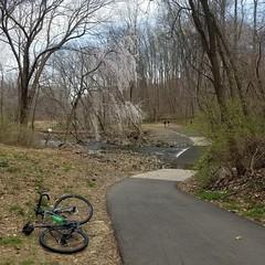 2019 Bike 180: Day 39 - Wild Cherry (mcfeelion) Tags: cycling bike bicycle bike180 2019bike180 spring fallschurchva