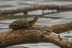 I do have all day 2019 (TheArtOfPhotographyByLouisRuth) Tags: turtle amazingcapture wildlife aquatic nikond810 nikon200500mm artofimages