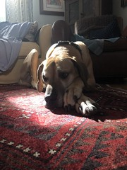 21/365 (moke076) Tags: 2019 365 project 365project project365 oneaday photoaday mobile cell cellphone iphone great dane dog animal moose pet vintage persian rug house sun spot light sunbathing sunbather living room window tired sleepy resting laying down