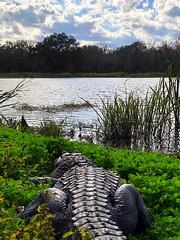 Observing 40-Acre Lake (1/28/2019). (stalnakerjack) Tags: texas wildlife nature brazosbendstatepark alligators alligator gator