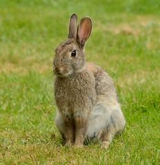 Chilled Out Rabbit (earlyalan90 away awhile) Tags: rabbit coney animal nature wildlife nikon d800 zoom lens grasmere cumbria saint oswalds churchyard lakedistrict national park bunny fluffy