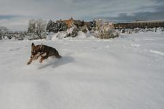Full speed ahead (M///S///H) Tags: 2019 24mm lenstagger acumulation canonfd dog doggo f14 hop jump leap newmexico powder pup pupper puppy snow snowfall stella taos white winter