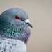 Up Close and Personal with a Pigeon