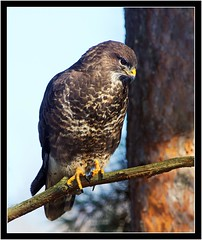 COMMON BUZZARD (PHOTOGRAPHY STARTS WITH P.H.) Tags: common buzzard stover park devon nikon d500 300mm 28 g ii teleconverter sb800 for fill wimberley flash rig