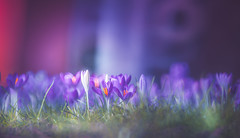 Spring Dream (Dhina A) Tags: sony a7rii ilce7rm2 a7r2 a7r tamron sp 500mm f8 tamronsp500mmf8 prime ad2 adaptall2 mirrorlens 55bb catadioptric reflex cf tele macro manualfocus crocus early spring bokeh flowers dreamy