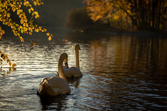 Autumn (bransch.photography) Tags: view autumn october nymphenburg landscape historic peaceful nature reflection germany city beauty lake fall animal leaf water colorful tree beautiful swan season bird scenic bavaria park elegant europe munich white
