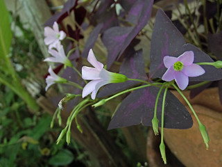 Oxalis triangularis A. St.-Hil. Oxalidaceae-red oxalis, purple shamrock, ออกซาลิส