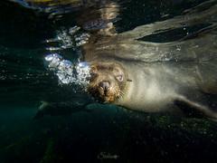 Australian fur seal (Cositos :)) Tags: seal foca astralia underwater photography wide angle free diving olympus 918mm australia sea mar fotosub arctocephalus pusillus fur