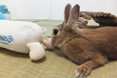 Ichigo san 1506 (Errai 21) Tags: いちごさん ichigo san  ichigo rabbit bunny cute netherlanddwarf pet ウサギ うさぎ いちご ネザーランドドワーフ ペット 小動物 1506