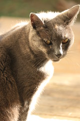 IMG_3711 (christineNZ2017) Tags: auckland newzealand furbaby furbabies cats cat feline gato animal mammal neko kattekop katt fur kitty katze katzen chat gatto kissa kot pisica moggy meow purr holly grey gray tortoiseshell 2019 morningsun