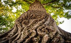 Wrinkles on a tree (lparolini) Tags: bark botanic brightlight leaves nature oak oldtree outdoor sommer sunnyday tree wideangle wood wrinkles summer