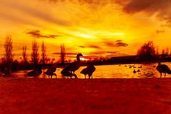 Parque de Valdebernardo en estado puro (franjamarba2013) Tags: franjamarba atardecer rojo red parque vicalvaro contraluz lago patos sunset backlighting lake ducks