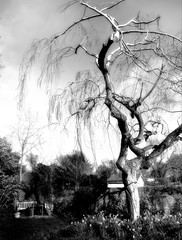 willow in spring-HTMT (Wendy:) Tags: htmt hbm photoshop willow tree ir mono leaves spring bench daffodils