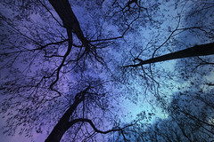The Nightside (Cat Girl 007) Tags: abstract bare barebranches branches creepy eerie forest menace menacing midwinter moody nature outlines purple shapes silhouette sky skyward stark tree up upwards woodland woods nightside
