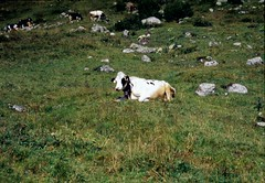 Cow at Emanay, Aug. 2000 (Great Uncle David) Tags: alps mountains switzerland swissalps cows emanay