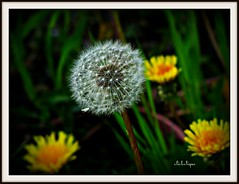 A Dandylion globe (clickclique) Tags: dandylion flower seeds globe yellow white green black spring nature soft inexplore 6000viewsunlimited