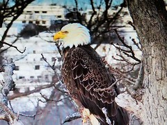 Justice 3-14-2019 Bald Eagle - SCREENSHOT - (THE Halloween Queen) Tags: eagles eagle wildlife bald baldeagles nationssymbol patriotic