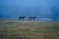 Horses and dawn blue fog in the country (DDM Imaging) Tags: grass sky blue animal horse field nature camera sony a7ii a7m2 horses color colors colour colours dawn outdoors outside spring landscape wildlife country countryside light