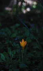 Color into the woods (philos from Athens) Tags: greece crocus yellow orange forest flower picmonkey