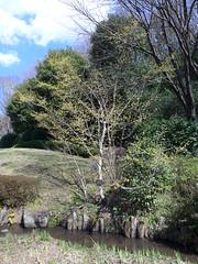 19o1515 (kimagurenote) Tags: サンシュユ cornus cornusofficinalis tree 東高根森林公園 higashitakane forest park 川崎市宮前区 miyamaekawasaki