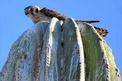 Sparrow hawk (thomasgorman1) Tags: falcon hawk kesterl kestrel raptor nature birds wildlife desert cactus nikon baja mexico mx