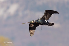 Grand cormoran - 6824 (Luc TORRES) Tags: cormoran echassier faune grandcormoran nature oiseaux palmipède france phalacrocoraxcarbo greatcormorant domainedubuttet lacdubourget