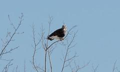Rough-legged Hawk (Laura Erickson) Tags: saxzimbog stlouiscounty accipitridae accipitriformes birds roughleggedhawk species places minnesota buteolagopus