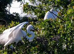 Two Great Egrets. --  L1130406~2 (mshnaya ☺) Tags: water aquatic bird fowl fauna ibis white sea pond marsh nature wildlife audubon sanctuary flickr camera photo point shoot compact leica