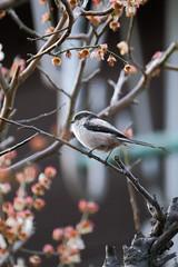 XT3B8928 (jojotaikoyaro) Tags: zenpukuji suginami tokyo japan bird animal nature wildlife fujifilm xt3 xf100400mm