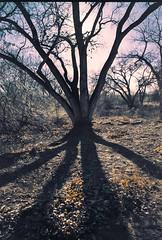 Sundown Bosque (thisdoesntlookverynice) Tags: albuquerque bosque nikonfm expiredfilm nikkor28mm