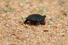 Marsh terrapin. Tartaruga de Capacete Africana. Kruger Park. South Africa. Jan/2019 (EKatBoec) Tags: hingback tortoise rock monitor crocodile rainbow skink marsh terrapin leopard flapnecked chameleon blueheaded tree agama