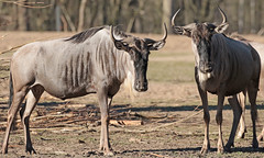 wildebeast Burgerszoo 094A0673 (j.a.kok) Tags: animal africa afrika antilope wildebeast gnoe gnu mammal zoogdier dier herbivore burgerszoo burgerzoo