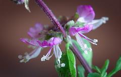 Sweet basil (hedera.baltica) Tags: basil greatbasil sweetbasil bazylia bazyliapospolita ocimumbasilicum