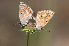 Aricias en cópula (ajmtster) Tags: macrofotografia macro insecto invertebrados mariposa mariposas lepidopteros lycaenidae licenidos ariciacramera aricia butterfly butterflies amt sundaylights