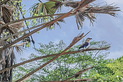 BLUE-BELLIED ROLLER (Ezio Donati is ) Tags: uccelli birds animali animals alberi trees foresta westafricacostadavorio reservedelamto