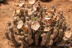 Cactus Flower (Peter.Stokes) Tags: australia australian cactus colour colourphotography countryside flora flower flowersplants garden landscape landscapes native nature photo photography trees cactusflower cactuscountry victoria