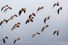 Avocet Aerialists (RH Miller) Tags: rhmiller reedmiller wildlife bird americanavocet idaho usa