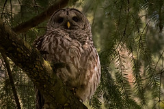 Barred Owl_1NG7011 (adventure_photography) Tags: vandusen vancouver barred owl dark forrest trees