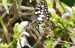 Butterfly, Bharatpur, Keoladeo Ghana National Park (Sekitar) Tags: rajasthan india indian asia southasia south nature alam butterfly bharatpur keoladeo ghana national park