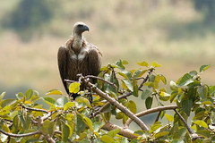 White-backed Vulture (npaprock) Tags: gypsafricanus gyps vulture scavenger whitebackedvulture ethiopia africa bird southernnations