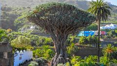 Parque del Drago Milenario (Veli Vilppu) Tags: borås mäkikihniä skillingaryd sweden veli vilppu hobbyfotograf icoddelosvinos kanarieöarna spanien es drakblodsträd dragontree mur wall