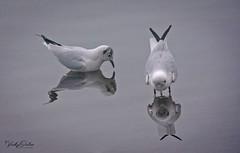 Gulls. Mirror mirror on the water... (Explored 15/01/19) #77 (vickyouten) Tags: gulls nature wildlife britishwildlife wildlifephotography nikon nikond7200 nikonphotography nikkor55300mm penningtonflash leigh uk vickyouten