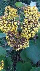 (sftrajan) Tags: seneciopetacites senecio asteraceae mexicanplants winter flowers amarillo jaune botany jardinbotanique botanischergarten sanfrancisco strybingaboretum sanfranciscobotanicalgarden botanicgarden ботаническийсад ogródbotaniczny jardimbotânico