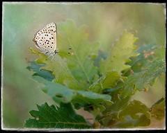 Azuré d'automne. (*Jost49* (±Off)) Tags: nature macro closeup insecte papillon butterfly azuré feuille leaf chêne oak texture