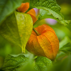 Colorful Physalis (Martin Bärtges) Tags: flowers blumen blossoms colorfule outside drausen outdoor nature natur naturfotografie naturephotography nikon d7000 nikonfotografie nikonphotography macro orange makro makrofotografie macrophotography