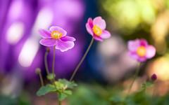 A Splash of Colour (paulapics2) Tags: garden colour flora nature autumn japaneseanemone