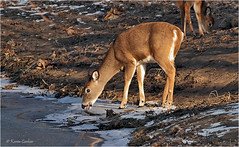 A Lick or a Nibble? (acadia_breeze4130) Tags: harrisburg pennsylvania deer whitetaildeer whitetail mammal aninals winter wildwood park lake frozen water nature wildlife naturephotography outside eos 100400mm morning karencarlson landscape mud ice