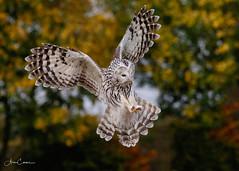 Ural Owl Talons Out (Ukfalc) Tags: uralowl strixuralensis owl birdofprey raptor bird animal icbp internationalcentreforbirdsofprey newent gloucestershire canon 7dii 70300l 2018